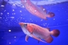 Beautiful Arowana Fishes for Sale