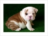 Affectionate ENGLISH BULLDOG Puppies For A New Home!!