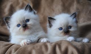 Ragdoll kittens for sale   Hawaii
