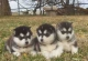 SIBERIAN HUSKY PUPPIES