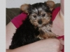 angelic male and female yorkie puppies for adoption.