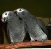 Talkative African Grey parrots now