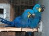 hyacinth macaw parrots available!!