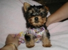 Affectionate Yorkie Puppies