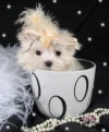 TOY YORKIE AND MALTESE  PUPPIES FOR ADOPTION