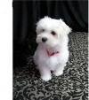 Logan is a handsome little boy Maltese puppy