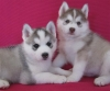 execellent Siberian Husky puppies  for adoption