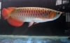 Live Arowana Fish Available