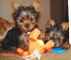 Super Cute Microchip and health guarantee Male and Female T-cup Yorkie puppies