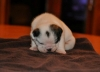 ENGLISH - BULLDOG PUPPIES FOR SALE ......