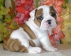 AKC English Bulldog Puppies for adoption