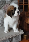 lovely Saint Bernard puppies for sale a good home.
