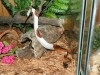 male and female piebald pythons available for sale