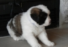 Ready Saint Bernard Puppies For for Re Homing.