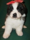 wonderful Saint Bernard Puppies.