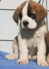 Top qualities saint Bernard puppies for free.