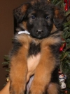 100% german blood-line AKC German Shepherd Sire-Dam Pups