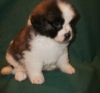 male and female Saint Bernard puppies for adoption.