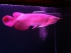 BUY AROWANA FISH NOW!!!!!PRICES REDUCED
