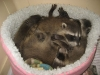 Exotic Breeder pair baby Racoons