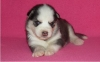 siberian husky puppies for your home