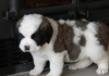 Beautiful saint Bernard Puppies For A New Home.