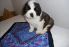 Saint Bernard Puppies Looking For Home