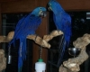 Well Tamed Pair Of Hyacinth Macaw Parrots For Adoption