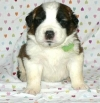 well behave Saint Benard puppies for adoption.