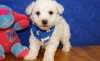 Lovable Tiny Healthy Bichon Frise Puppies Registred