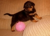 Gorgeous German Rottweiler puppies Male  &Female for  adoption