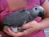 Young home raised talking african grey parrots for adoption