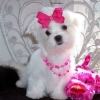 cute and adorable home trained Maltese puppies.