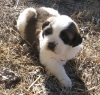 Saint Bernard puppies male and female seeking for a good home.
