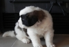 Sweet Saint Bernard Puppies.