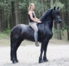 wonderful-freizian-horse-for-adoption-katevogen1980@hotmail-com-