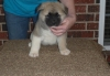 Akita puppies for you beautiful home