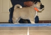 Home Raised Akita Puppies Ready To Go Now