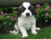 two lovely Saint Bernard puppies for sale a good home.