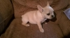 awesome french bulldog puppies to go