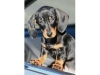 Miniature Dachshund Puppy 8 weeks old Smooth haired.