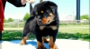 Rottweiler Available