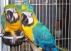 Proven  pair of blue and gold macaw