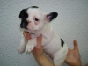 nice french bulldog puppies for adoption...