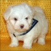 male and female maltese pups for new homes