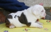 Gorgeous English Bulldog  puppies for adoption