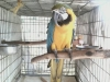 fantastic and well raised macaw for a good home