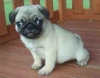 AKC Registered Fawn Pug Puppy For Sale