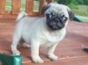 Cute female and Male Pug puppies for adoption