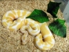 Outstanding pair of Albino and piebald ball pythons for sale